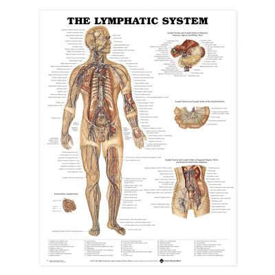 Laminated Anatomical Chart (Lymphatic System)