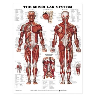 Laminated Anatomical Chart (Muscular System)