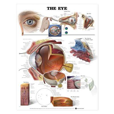 Laminated Anatomical Chart (Eye)