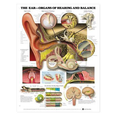 Laminated Anatomical Chart (Ear)
