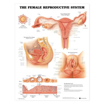 Laminated Anatomical Chart (Female Reproductive System)