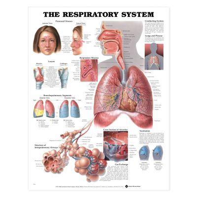 Laminated Anatomical Chart (Respiratory System)