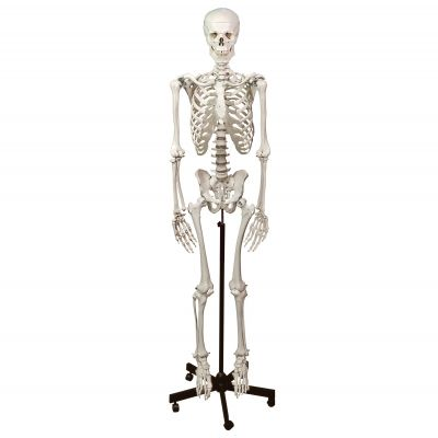 Human Skeleton (With Stand)