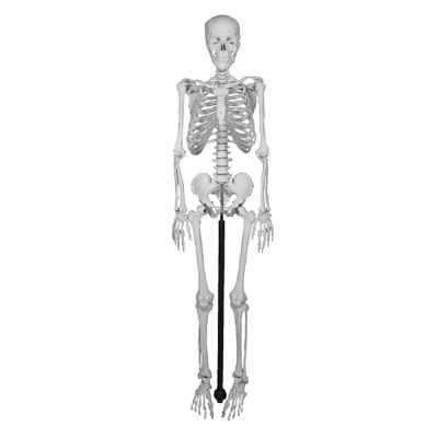 Miniature Human Skeleton